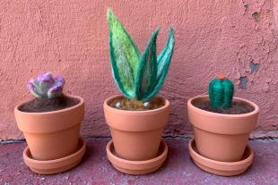 针毡制的肉质植物